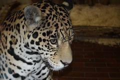 Jaguar (Panthera onca), Saarbrücken Zoo, Saarbrücken, Deutschland. 08.07.2008.