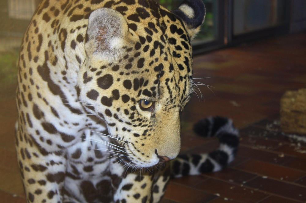 Jaguar (Panthera onca), Saarbrücken Zoo, Saarbrücken, Deutschland. 08.07.2008