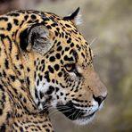 Jaguar Portrait 2