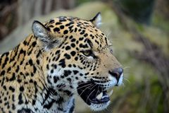 Jaguar Portrait 3