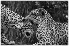 Jaguar S/W Versuch