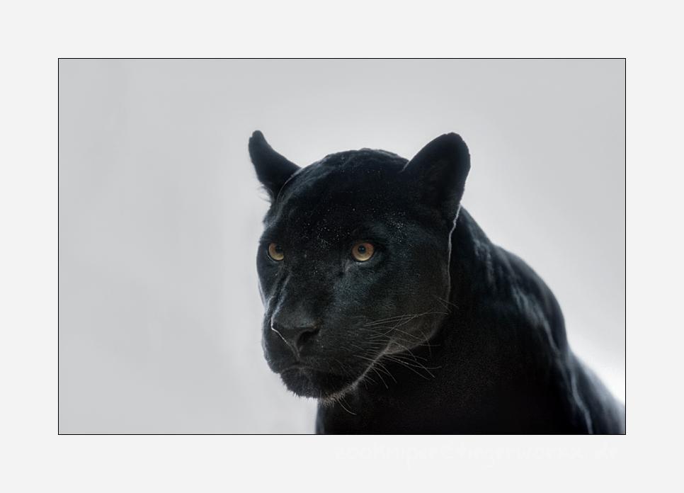 Jaguarbilder (I): Alexis
