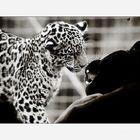 Jaguarbilder (II): Ob Papa wohl heute mit mir spielen möchte?