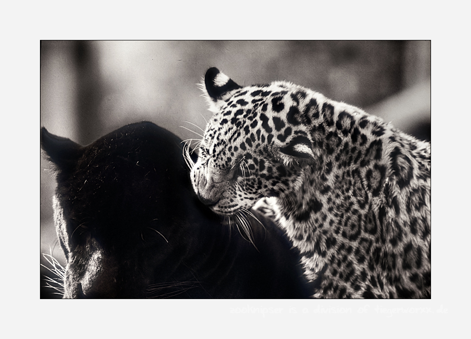 Jaguarbilder (III): Nee, er will nicht spielen, dann spiele ich eben 'Papa ins Ohr beißen' -;)
