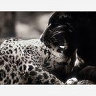 Jaguarbilder (IV): Au weh, Papa kann auch beißen!