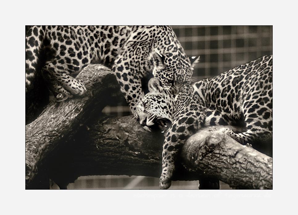 Jaguarbilder (V): Nee, wenn Papa so bissig ist, dann spiele ich lieber 'Brüderchen beißen'