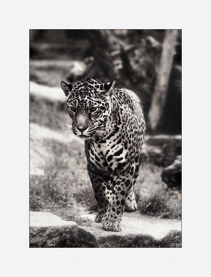 Jaguarbilder (VI): Sally
