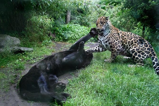 Jaguare beim Kämpfen