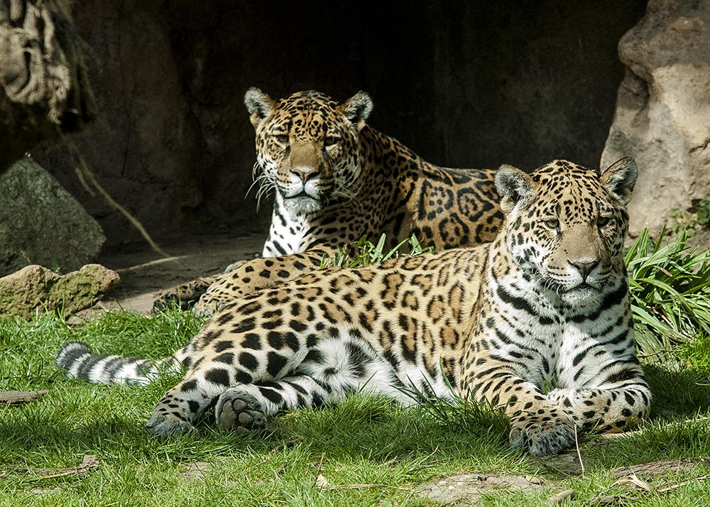 Jaguare im Frühling