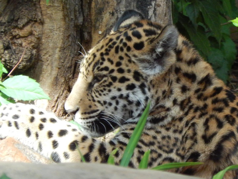 Jaguarjungtier