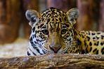 jaguarweibchen