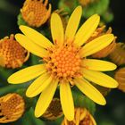 Jakobs-Greiskraut, Jacobaea vulgaris, Blütenstand