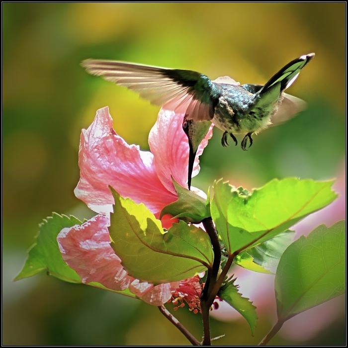 jamaican hummingbird