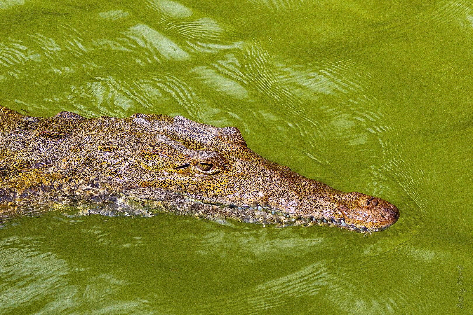 Jamaika Krokodile Rock