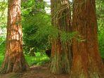 jamais vu un séquoia, le gars qui nous a plantés là !!