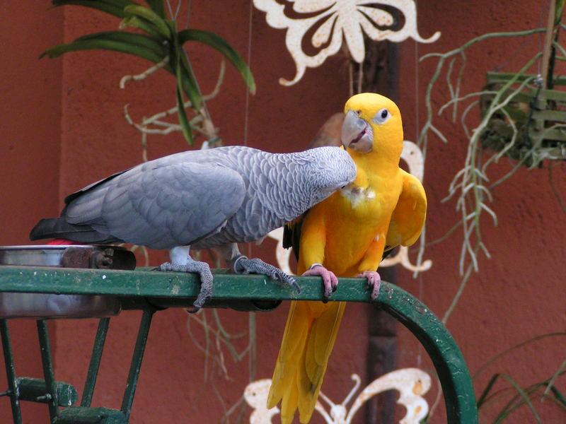 Jandaia's couple