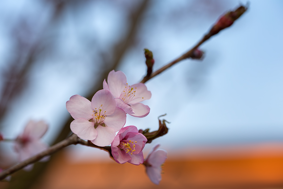 Jap. Kirsche - ein Blütenzweig