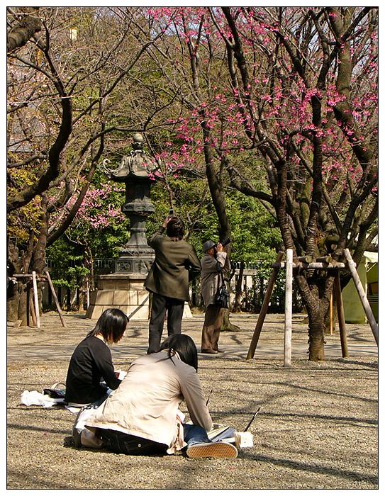 Japan: Alle wollen Kirschblüten!