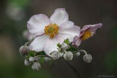 Japan-Anemone