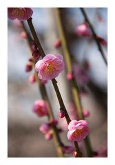 Japanese Apricot [Ume blossom] -11