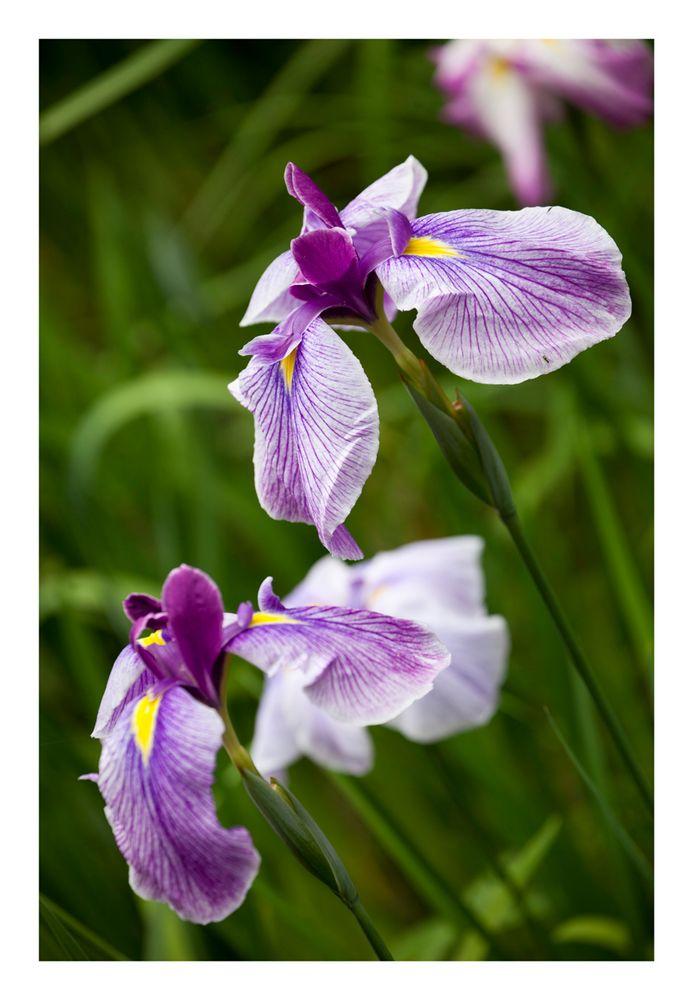 Japanese Iris-2
