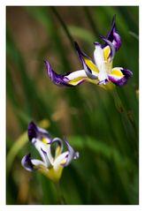 Japanese Iris-3