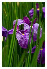 Japanese Iris-4
