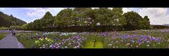 Japanese Iris Garden 3