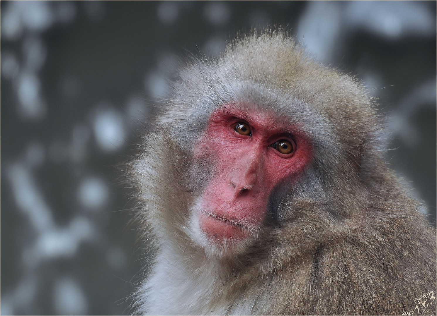 Japanese macaque ..
