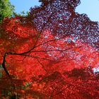 Japanese Maple leave changes