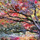 Japanese Maples