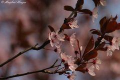 Japanisch Kirschblüte - 1