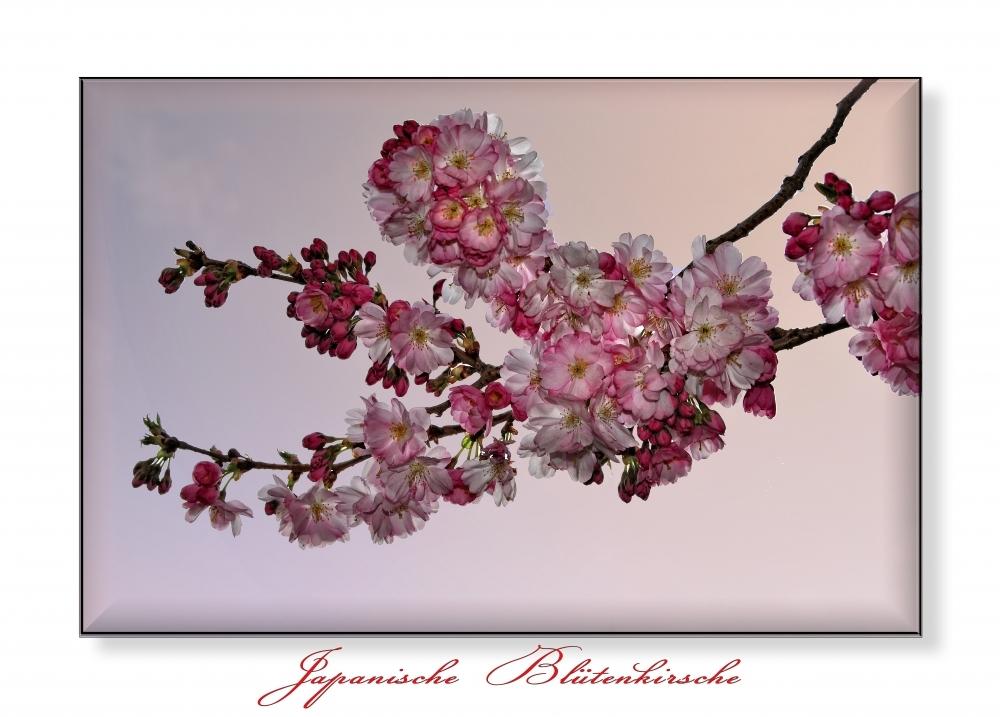 Japanische Blütenkirsche.......