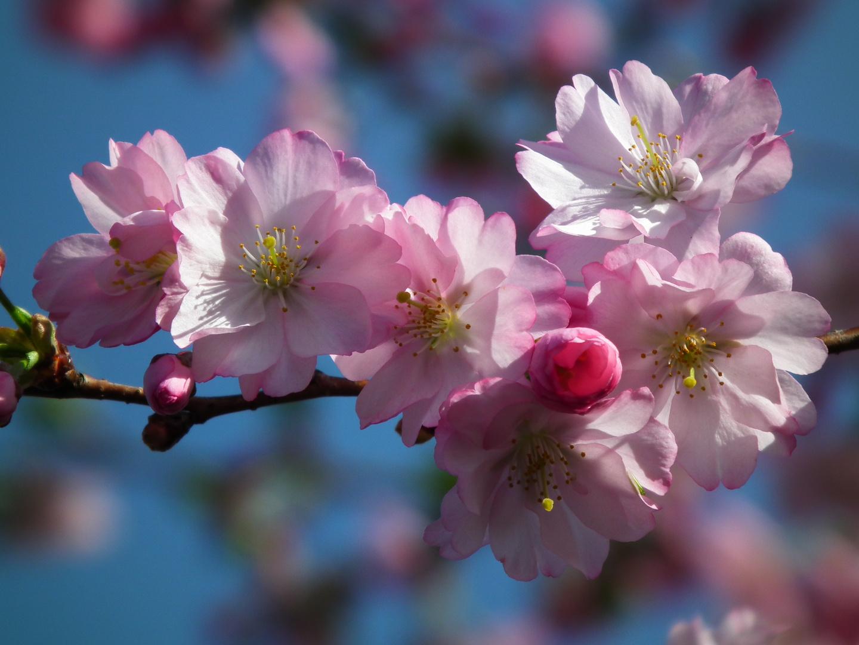 Japanische bl tenkirsche foto bild pflanzen pilze flechten bl ten kleinpflanzen - Japanische gartenpflanzen ...
