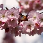 Japanische Blütenkirsche (Prunus serrulata).