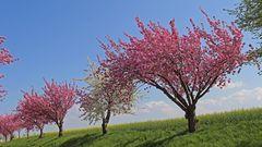 Japanische Blütenkirsche-Prunus serrulata  auf einer der schösten Straßen...