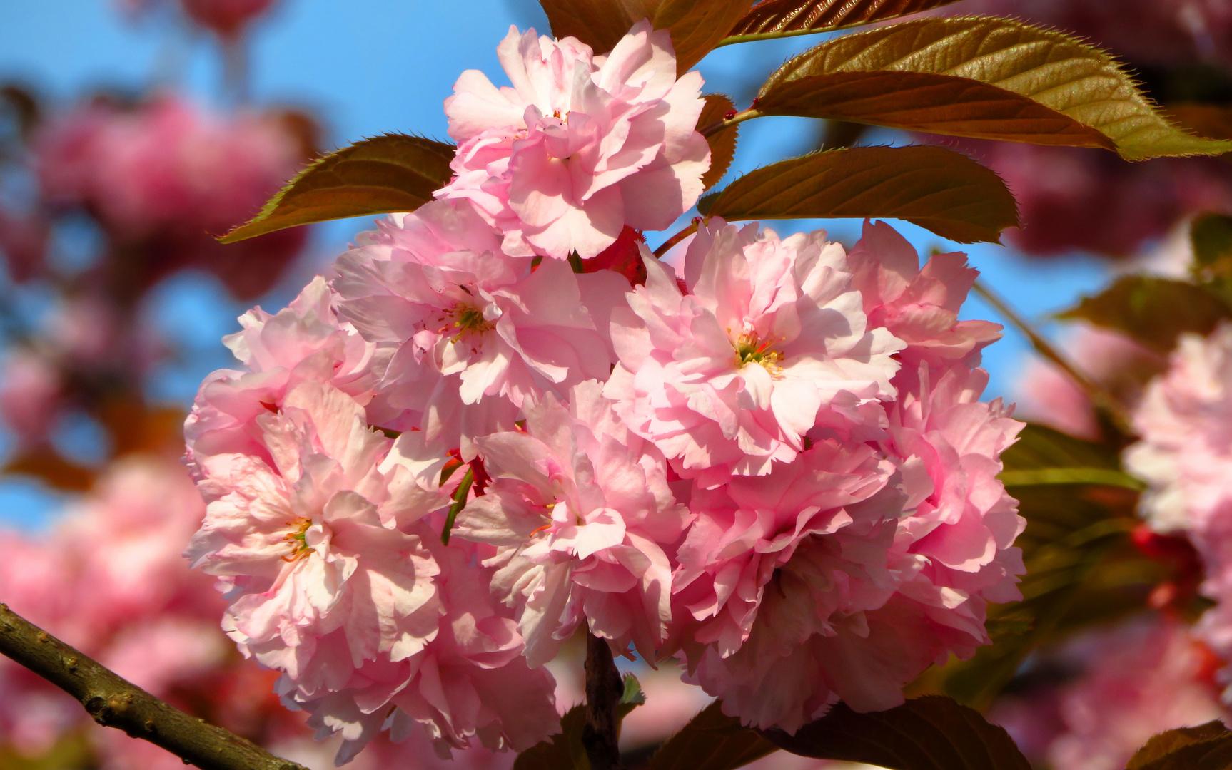Japanische Blütenkirsche, Prunus serrulata, in der Mai-Sonne