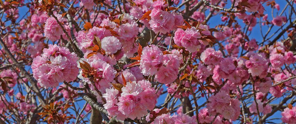 Japanische Blütenkirsche  Prunus serrulata und intensiver kann man sie kaum noch zeigen