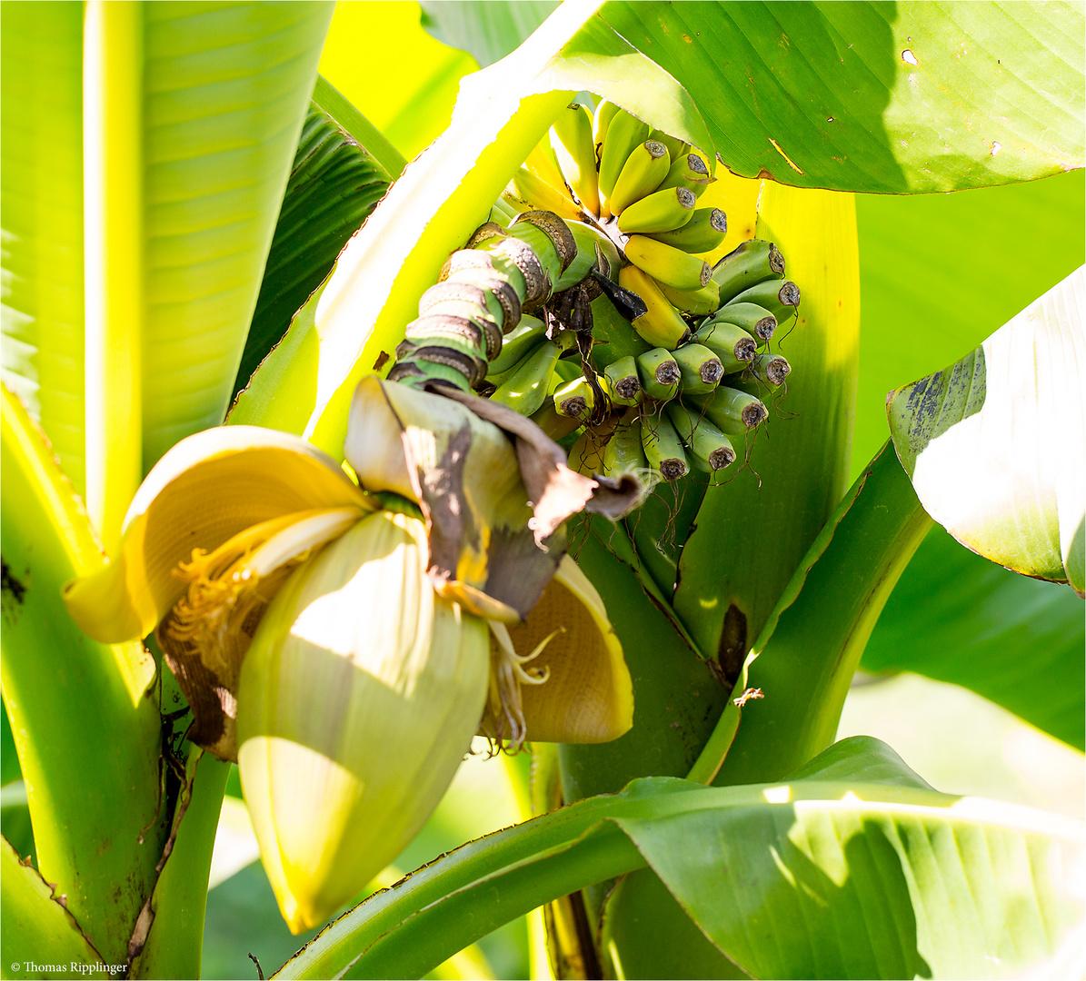 japanische faser banane musa basjoo foto bild pflanzen pilze flechten b ume obstb ume. Black Bedroom Furniture Sets. Home Design Ideas