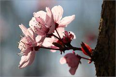 Japanische Kirchblüte