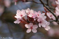 Japanische Kirschblüte - 2
