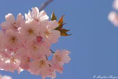 Japanische Kirschblüte - 3