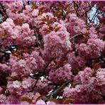Japanische Kirschblüte auch am Lauerhaas in Wesel