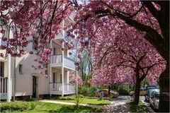 Japanische Kirschblüte in Berlin