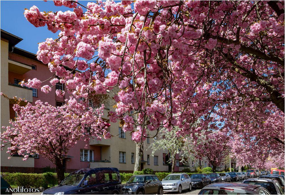 Japanische Kirschblüte in Berlin (2)
