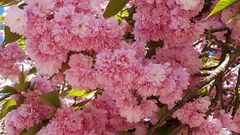 Japanische Kirschblüten...