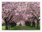 Japanische Kirschblüten im Schwetzinger Schlossgarten