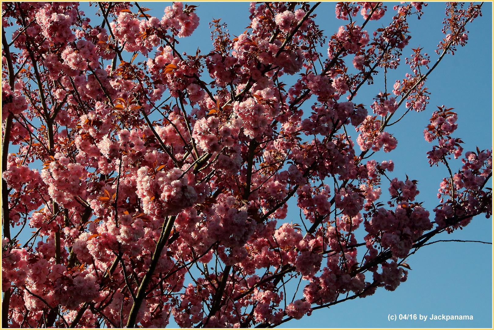Kirschen japanische Japanische Blüten