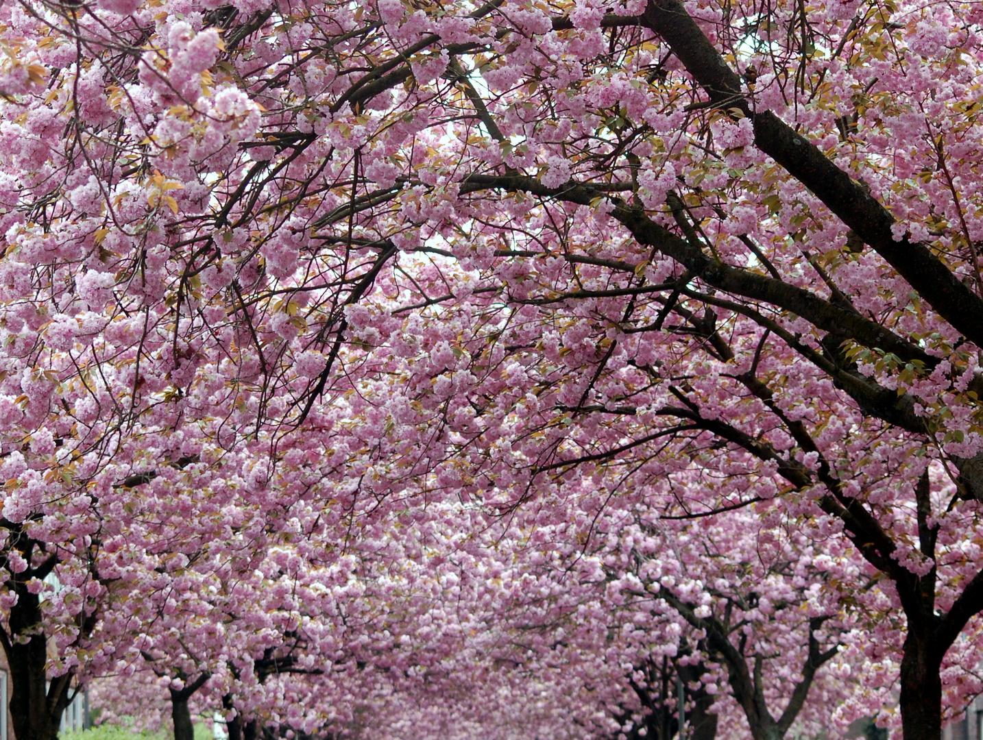 Kirschen japanische Zierkirschen pflanzen