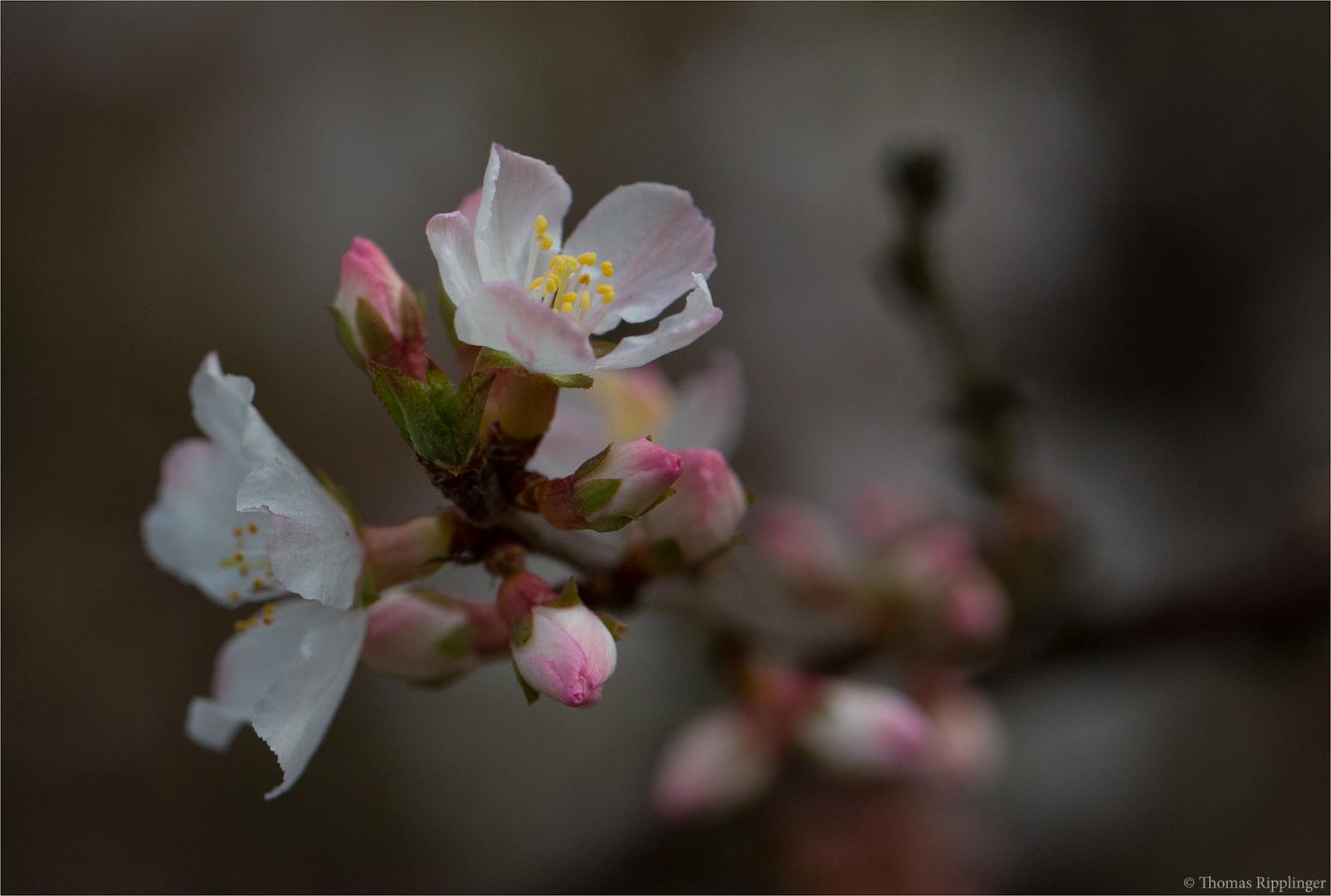 Japanische Kirschmandel (Prunus tomentosa)